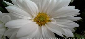 Foto hermosa flor - Margarita