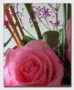 Foto Hermosa Rosa color rosado