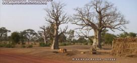 Foto Arboles de Baobab en Senegal