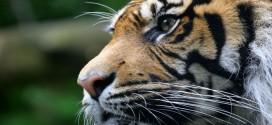 Foto majestuoso tigre - El poder esta dentro de ti