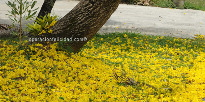 Flamboyan-Roble-Amarillo-Hermoso-Arbol-Bendiciones